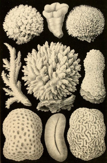 Haeckel Coral Illustration